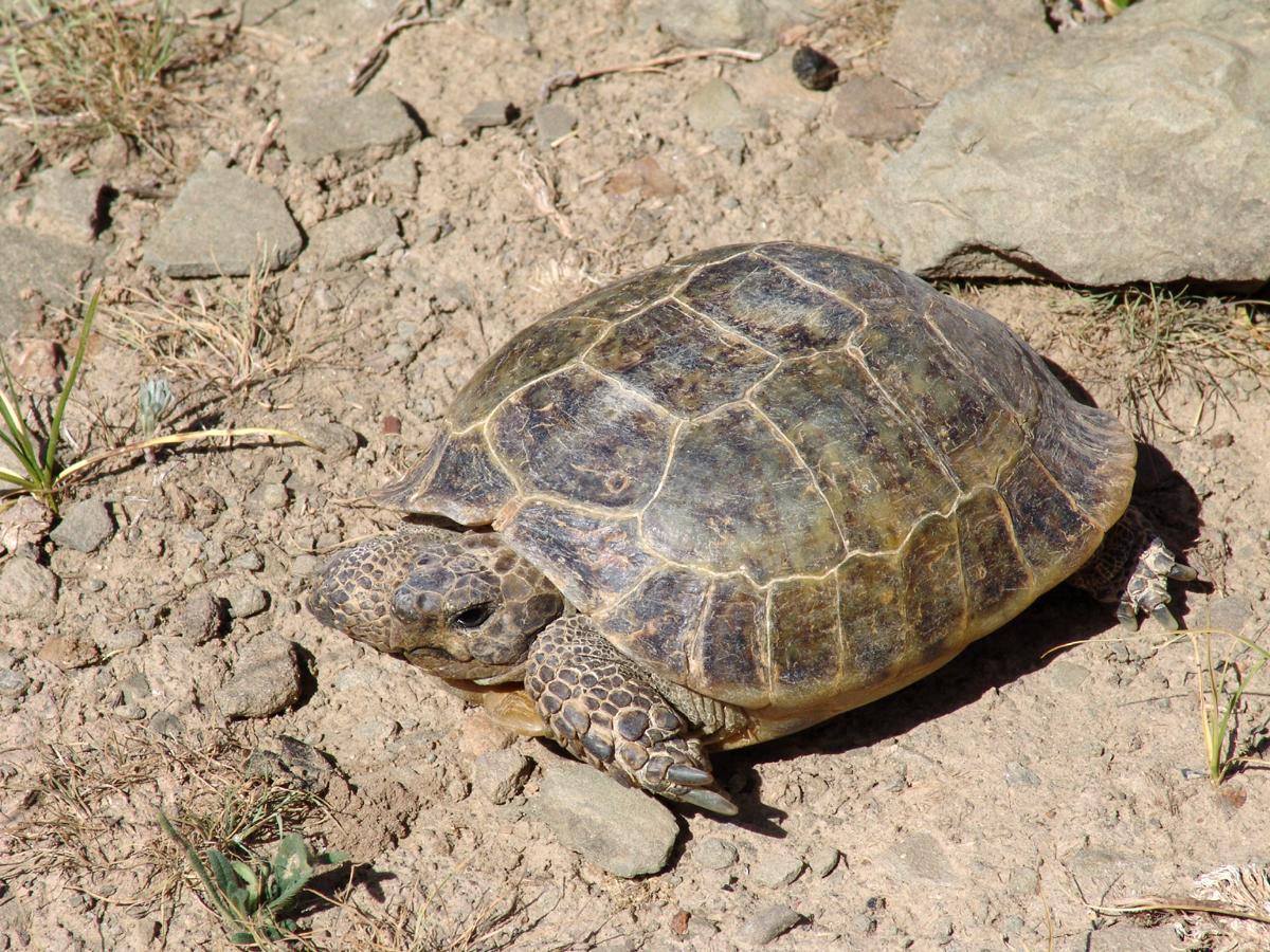 картинка среднеазиатской черепахи